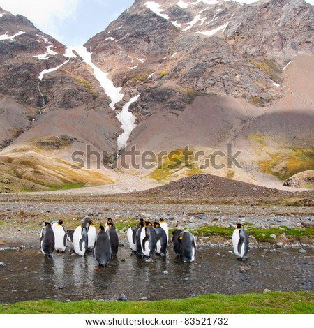 King Penguin Colony.Glacial mountains surround the colony in Fortuna Bay, South Georgia Island.