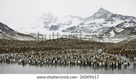 King penguin colony with mountain background