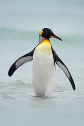 King penguin going from blue water, Atlantic ocean in Falkland Island, sea bird in the nature habitat with black and yellow head.
