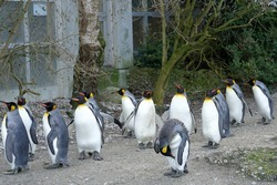 King penguin living in flock in captivity. Birds are called Aptenodytes patagonicus in Latin. They are walking around their enclosure keeping always in a group.
