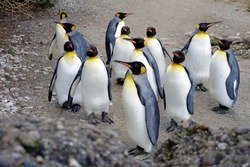 King penguin living in flock in captivity close up. Birds are called Aptenodytes patagonicus in Latin. They are walking around their enclosure keeping always in a group.