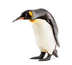 King penguin looking down, isolated on white