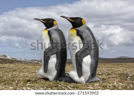 King Penguin pair #271593902
