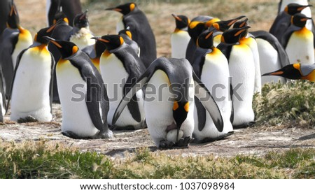 King penguin protecting its egg in Tierra del Fuego