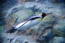 king penguin swimming