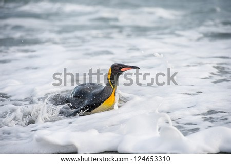 King penguin swims in the water. South Georgia, South Atlantic Ocean.
