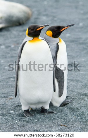 King Penguins, Aptenodytes patagonicus at Sandy Bay on Macquarie Island, Sub-antarctic Islands, Australia