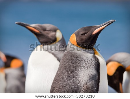 King Penguins, Aptenodytes patagonicus on Macquarie Island, Sub-antarctic Islands, Australia - stock photo