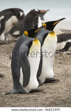 King penguins (Aptenodytes patagonicus) sitting near a gentoo penguin rookery at Saunders Island, Falkland Islands