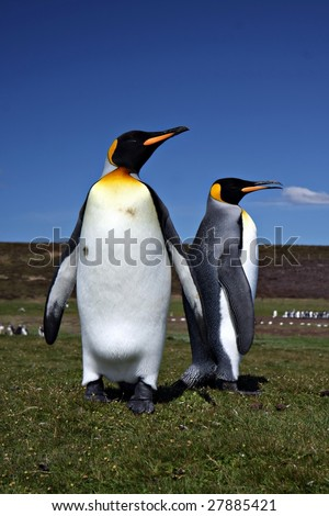 King Penguins at Volunteer Point on the Falkland Islands - stock photo