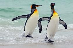 King penguins going from blue water, Atlantic ocean in Falkland Island. Sea bird in the nature habitat.