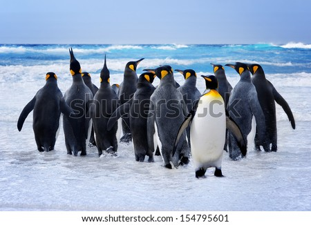 stock photo king penguins heading to the water in the falkland islands 154795601 - Каталог — Фотообои «Животные»