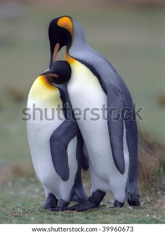 King penguins in love Falkland islands