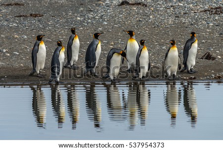 Shutterstock King Penguins in Tierra del Fuego, Chile