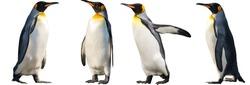 King penguins. isolated on white background