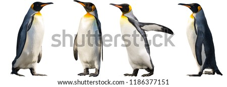 King penguins. isolated on white background