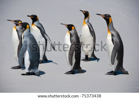 King penguins march along the beach at Volunteer Point in the Falkland Islands