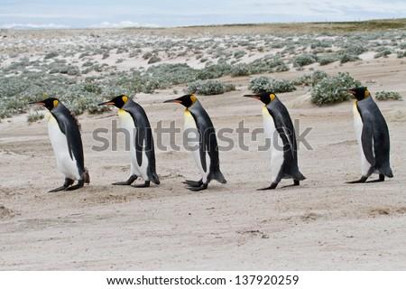 king penguins walking in row #137920259