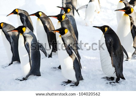 King penguins walking on the snow