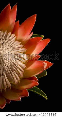 King Protea Half Isolated on Black Background Left