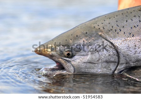 King Salmon awaits release