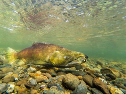 King Salmon Swimming In The Cedar River In Maple Valley Washington