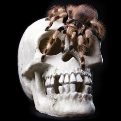 King Tarantula. Skull Isolated On black Background.