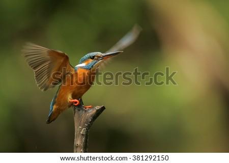 Shutterstock kingfisher