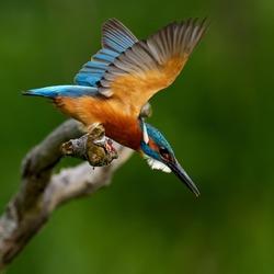 kingfisher (alcedo atthis) in natural habitat - Danube delta, Romania