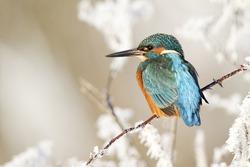 Kingfisher, Alcedo atthis, Single bird on frosty perch, Midlands, December 2010