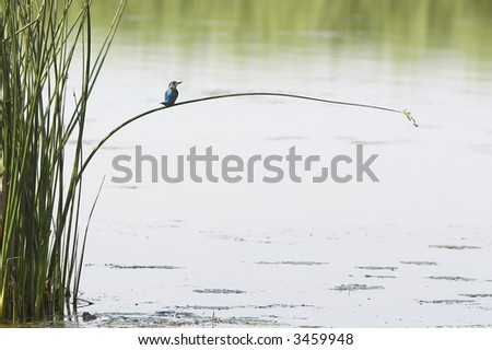 kingfisher (alcedo atthis) sitting on a branch/reed