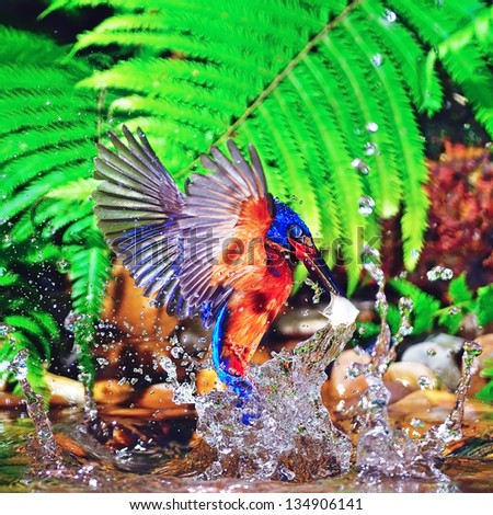 Kingfisher bird in action, male Blue-eared Kingfisher (Alcedo meninting)