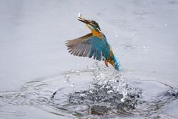 Kingfisher Bird with Fish