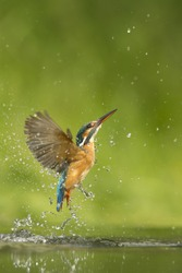 Kingfisher emerging from an unsuccessful dive