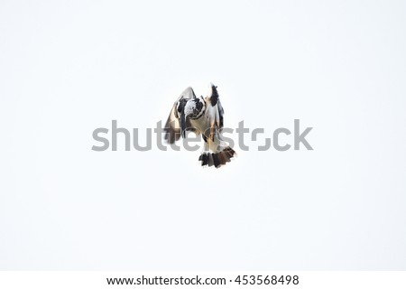 Kingfisher hovering. Pied Kingfisher flying over sky. The pied kingfisher is a water kingfisher and is found widely distributed across Africa and Asia. Its black and white plumage.  #453568498
