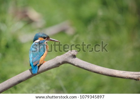 Kingfisher in the roost (Alcedo atthis)