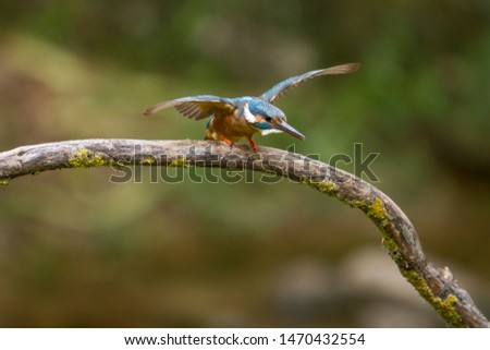 Kingfisher perched on a branch with open wings.