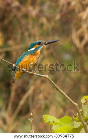 Kingfisher resting on a perch
