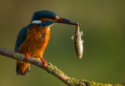 Kingfisher with hanging fish