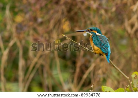 Kingfisher with its feather resting on a perch