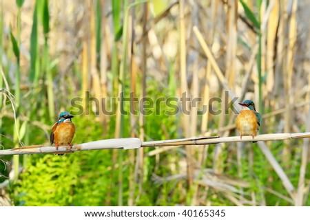 kingfishers (alcedo atthis)