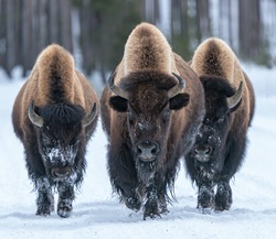 Kings of the Road - Three Bison bulls claim right-of -way down the road and no one is going to argue. Yellowstone National park.