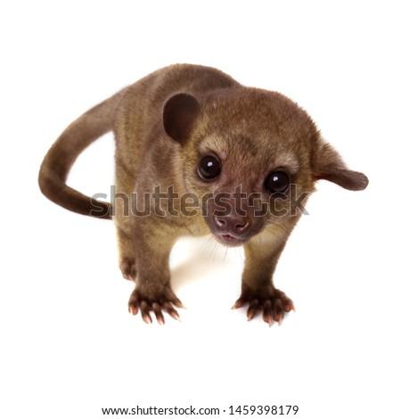 Kinkajou, Potos flavus, tropical animal isolated on white bakground . Mammal from Costa Rica.