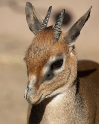 Kirk's dik-dik is a small antelope native to Eastern Africa, part of six subspecies of antelope. Dik-diks are herbivores and their tan fur helps them to camouflage with their surroundings in Africa.