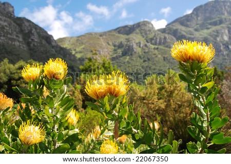 Kirstenbosch botanical garden,Cape Town