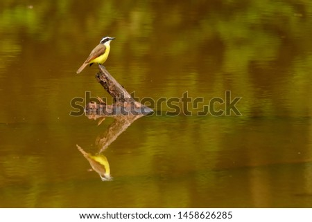 Kiskadee (Pitangus sulphuratus)- Reflection on a Stick