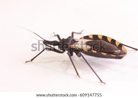 Kissing bug chagas disease vector triatomine; human health emerging zoonotic disease