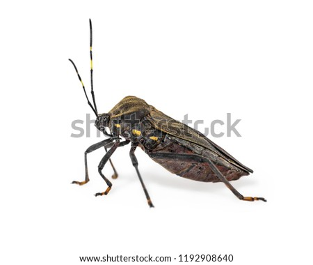 Kissing bug chagas disease vector triatomine; human health emerging zoonotic disease isolated on white background