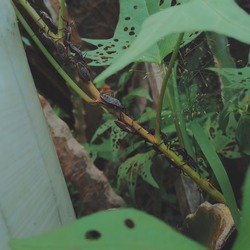 Kissing bugs, Conenose bug, Assassin bug, or Vampire bug on tree trunk