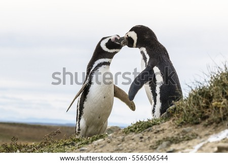 Kissing Magellanic penguins in Patagonia, Chile, South America